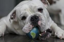bulldog-earth-ball-crop