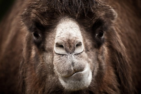 camel_face