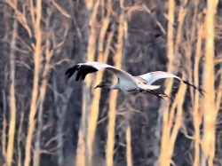 Whooping cranes could be killed by the Keystone XL Pipeline, yet they have remained silent on the threat
