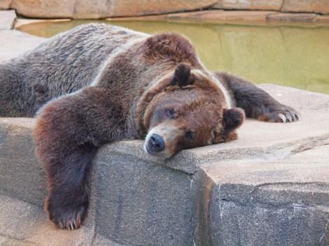 dozy_bear