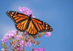 We can safely say you probably shouldn't wear monarch butterflies.