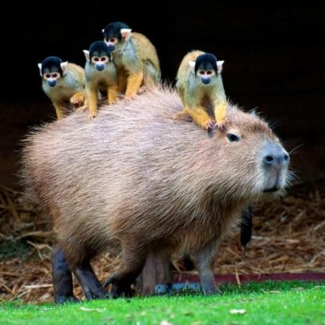 capybara_pals_2
