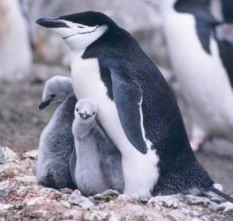40_chinstrap_penguin