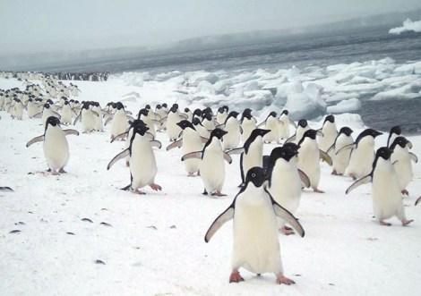 emslie_penguins
