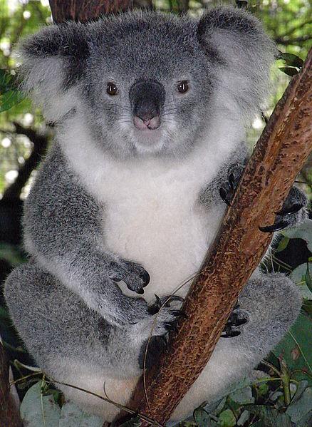 Friendly_Female_Koala
