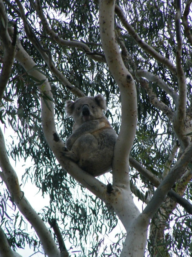koala_tree