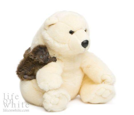 lemur_bear