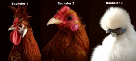 modern_farmer_chickens