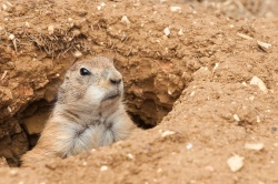 Prairie dog populations were among the wildlife hit hard by last year's Great Plains drought.