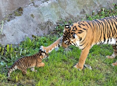 zooborns_tigers
