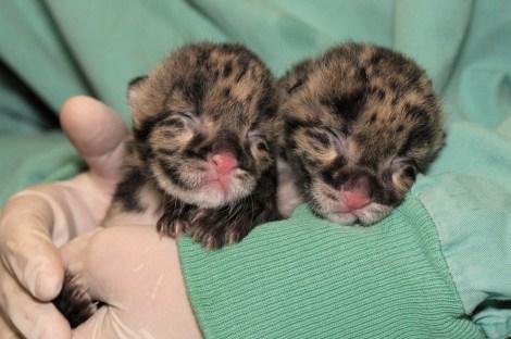 clouded_leopard_babies