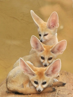 The fennec fox will be your guide for part 2.