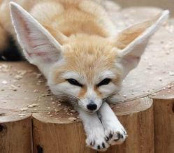 Previous utility reform!? This fennec is all ears.