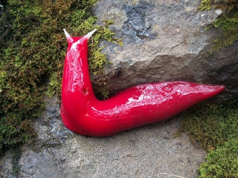 giant_pink_slug.jpg.662x0_q100_crop-scale