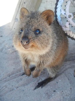 This quokka doesn't quite get the Occupy PUCs joke.