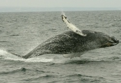 Humpback whales are a protected species that migrates along the California coastline.