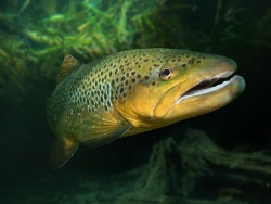 Brown trout.