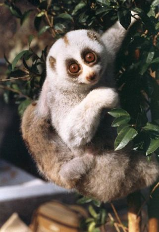 Speaking of complex organisms, don't keep slow lorises as pets.