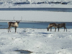 These North Slope caribou gain nothing from BP's drilling blitz.