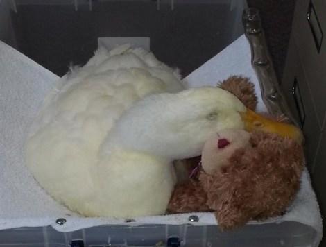 duck_teddy_bear