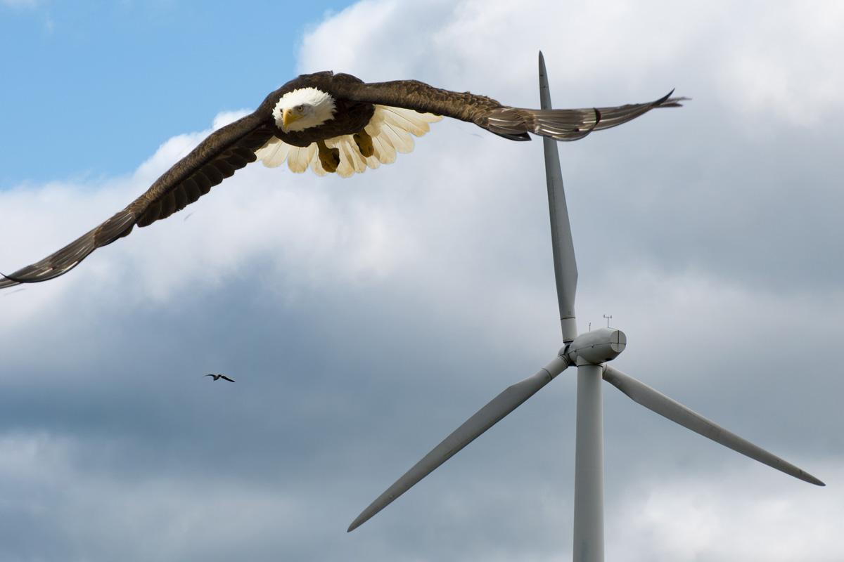 eagle near wind turbine