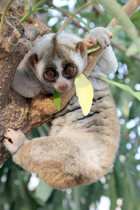 Slow lorises aren't used to dealing with energy, either.