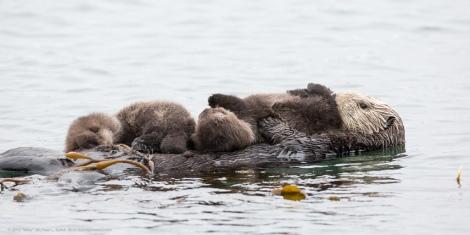 sea_otter_twins_2