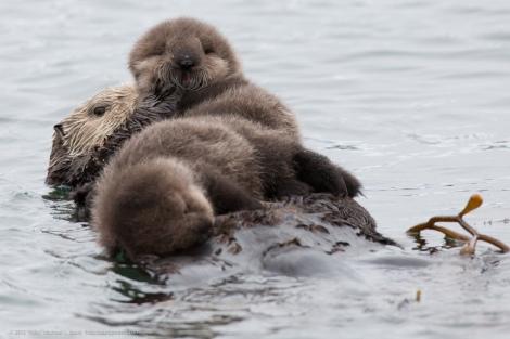 sea_otter_twins_4