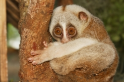 This slow loris wouldn't mind a safety net. Thank you for asking.