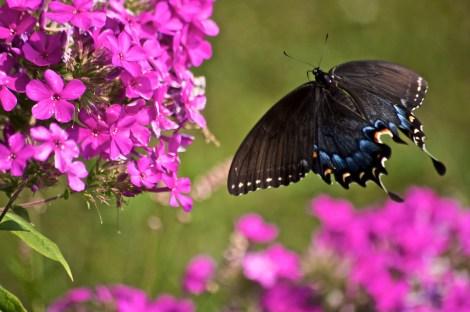 spicebrush swallowtail