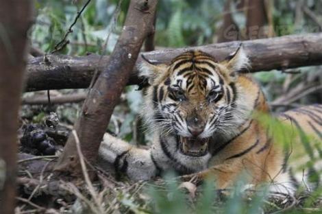 Sumatran tiger caught in a snare near a palm oil plantation. It sadly died.