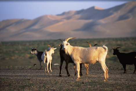 Goats in the Gobi Desert.