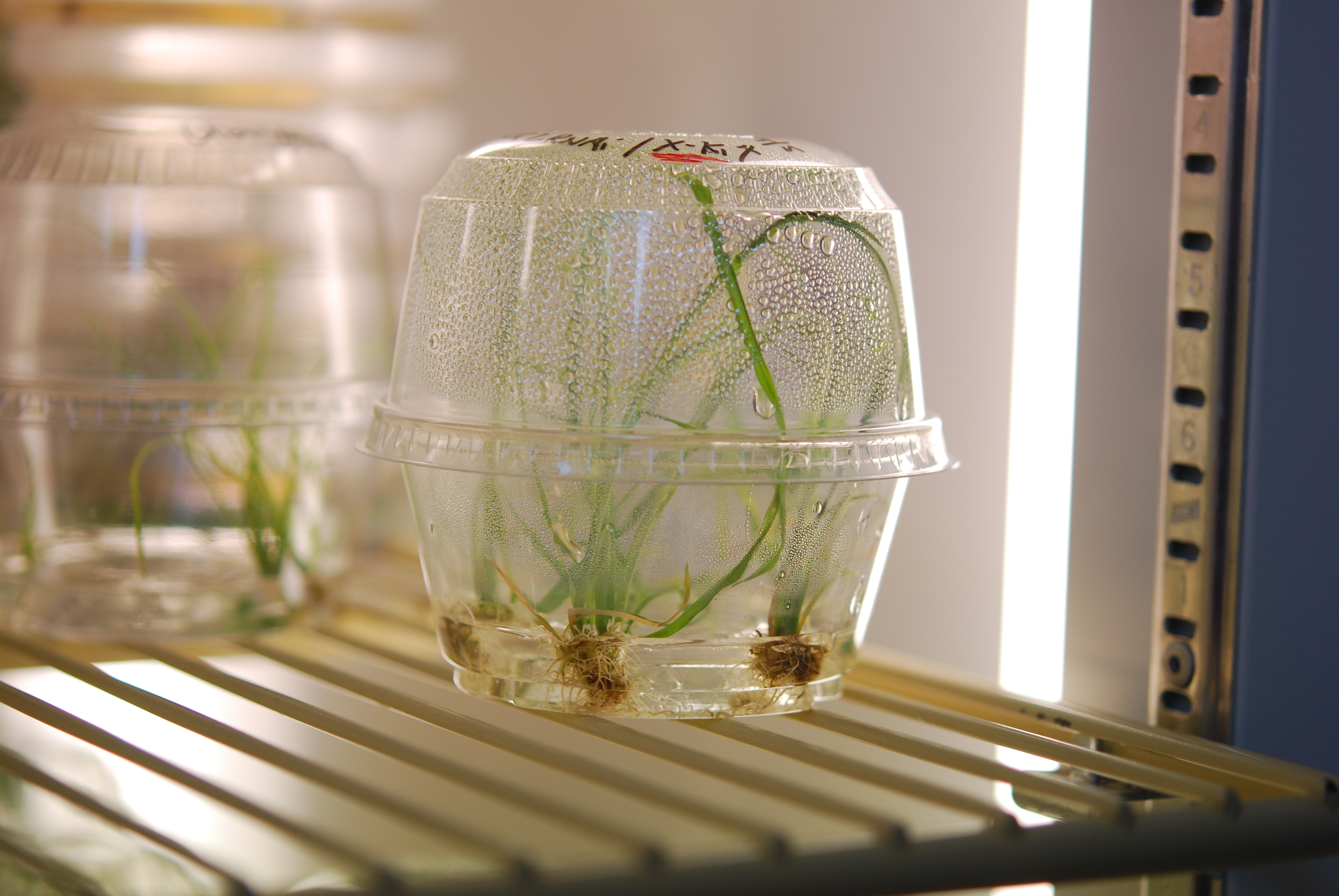 Recently engineered rice sprouting