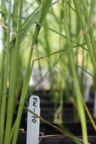 Mutation breed rice