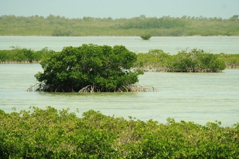 Mangroves, like these in the Florida Keys, help protect coastal areas from storm surges.