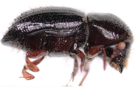 palpatine_beetle