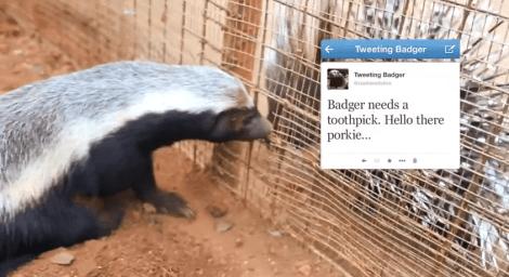 tweeting-honey-badger