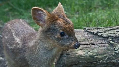 tiny_deer_1