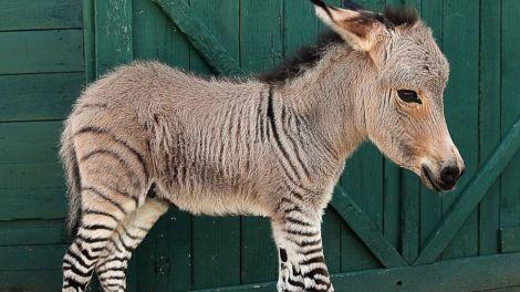 zonkey-zebra-donkey-baby