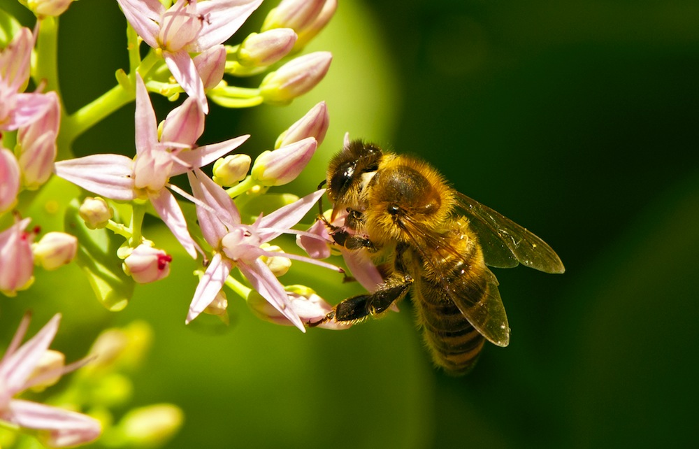 A honeybee on a flower