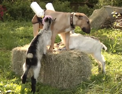 goats-bull-terrier-dog-milk