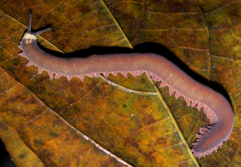 A type of velvet worm that everyone but me knew about already.