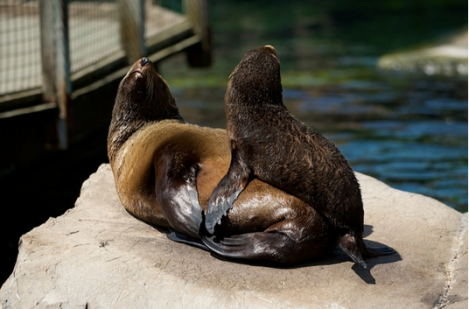south-african-fur-seals
