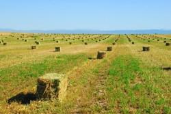 baled alfalfa
