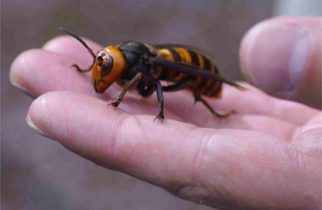 asian-giant-hornet-image
