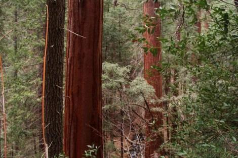 Sequoias of the Cedar Creek Grove in Sequoia National Park.