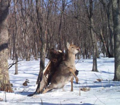 eagle v deer