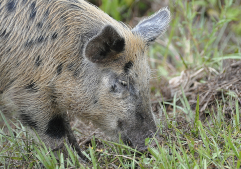 Can someone bring me a Bloody Mary? (Not THE feral pig, but a feral pig.)
