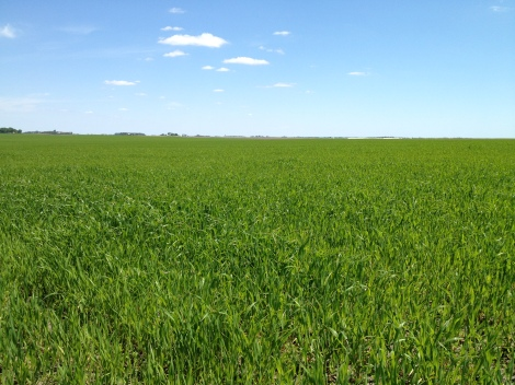 A field on one of Soper's farms growing oats, alfalfa, and clover.