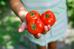 hand tomatoes share